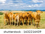 Cow Herd On Cow Farm. Cows...