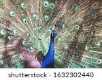 Peacock With Colorful Tail...