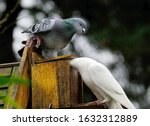 Feral Pigeons Disagreeing Over...