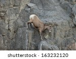 Female Bighorn Sheep And Young...
