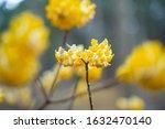 Bead like yellow flowers...