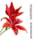 Red Lily Flower Isolated