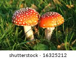Two red, toxic, toadstools close together - stock photo