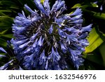 Purple Agapanthus Plant In The...