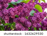 Purple Bunch Of Lilac. Spring...
