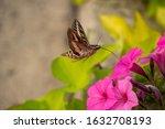 Hummingbird Moth Feeding From...