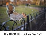 Tame Eastern Gray Squirrel ...