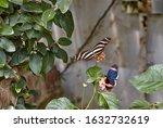 Heliconius Charithonia Or Zebra ...