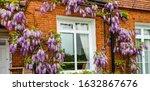Blooming Wisteria Vine...
