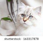 Stock photo neva masquerade kitten of siberian breed 163317878