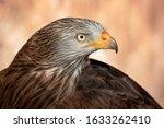 Red Kite Head Closeup  Milvus...