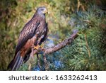 Red Kite On A Branch  Milvus...