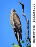 Whistling Kite Perched On A...