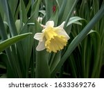 White daffodil with a yellow center on a background of green leaves.