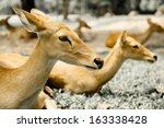 Siamese Eld's deer
