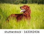 Red Irish Setter Dog In Field