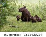 Funny Scene Of Capybara Family...