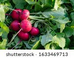 Harvesting Red Radish From The ...