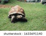 Closeup Of A Giant Tortoise...