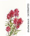 Indian Paint Brush.  Red...