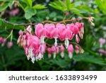 Beautiful Pink Bleeding Heart...