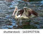 One Australian Pelicans ...