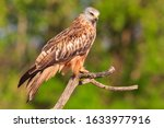 Red Kite On Tree Branch...