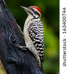 Small photo of Male Ladder-backed Woodpecker (Picoides scalaris) perched on a tree in the Texas Hill Country