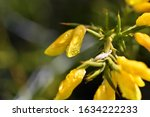 Gorse Full Of Yellow Flowers