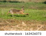 Stock photo lagomorphs brown hare lepus capensis hare running mammal farmland campaign castelvetro modena 163426073