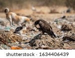 Steppe Eagle Or Aquila...