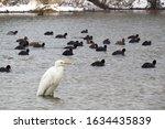 Great egret  ardea alba  or...