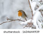 European Robin Or Robin...