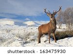 A Scottish Red Deer Stag...