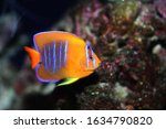 Small photo of Clarion Angelfish (holacanthus clarionensis) from Mexico