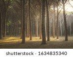 Itaian Maritime Pine Tree Mist...