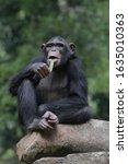 The Chimpanzee  Pan Troglodytes ...