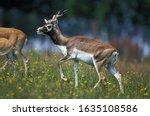 Blackbuck Antilope Antilope...