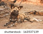 african wild dog  south africa | Shutterstock . vector #163537139