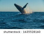 Humpback whale of madagascar...