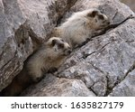 Two Hoary Marmots  Banff...