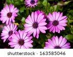 Purple Daisy Close Up Shot