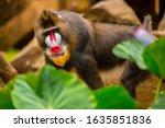 Rainbow Face Monkey Mandrill....