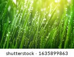 Fresh Green Grass With Dew...