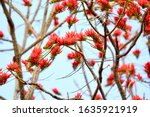Indian Coral Tree Flowers In...