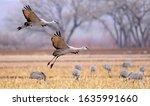 Majestic Sandhill Cranes In...
