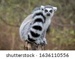 Close Up Of A Male Ring Tailed...