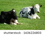 Two Black And White Holstein...