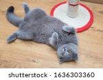 Beautiful Grey Cat Lying In A...
