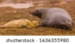 Small photo of Seal and pup on the grass the pup touching its mothers side